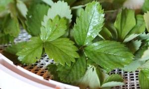 Лосьон из земляничных листьев