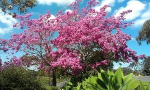Масло розового дерева для лица
